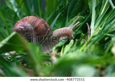 Snail in the green gras after the rain - stock photo