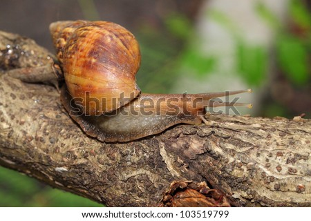 Snail is climbing on the tree with nature background - stock photo