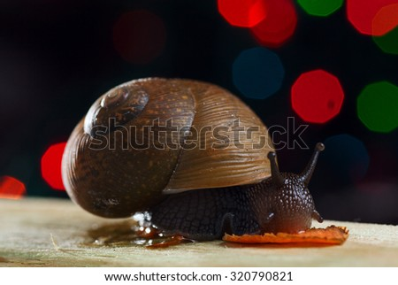 Snail is eating carrot on the wood. Close-up. Selective focus - stock photo