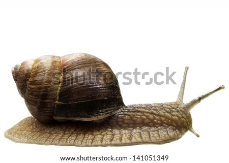 Snail isolated - stock photo