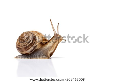 Snail isolated on white - stock photo