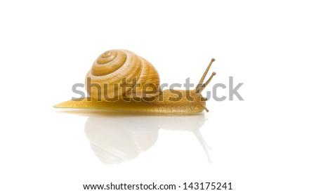 snail isolated on white background close up with reflection. horizontal photo. - stock photo