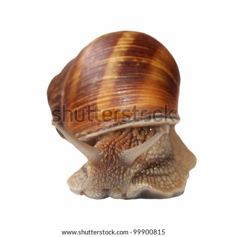 snail isolated on white background, Helix pomatia - species of land snail - stock photo