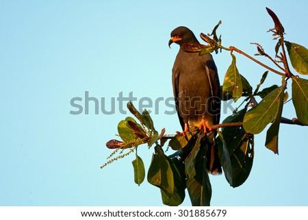 Snail Kite - stock photo