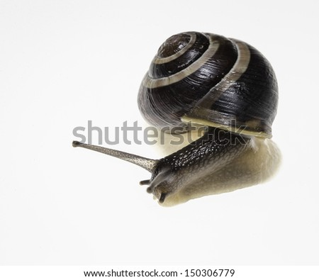 Snail Macro on White - stock photo