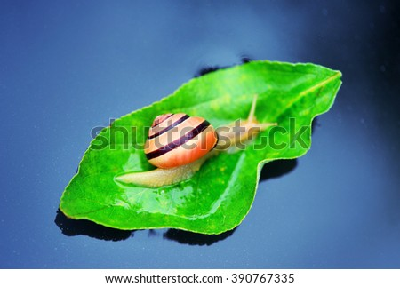 snail on a green leaf floating on water - stock photo