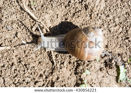 Snail on dirt. Upper angle. Sunny day with visible shadow