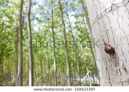 Snail on poplar forest a day before rain on springtime, Valdelacalzada, Spain - stock photo