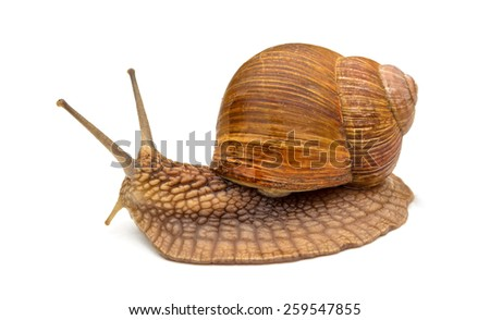 snail on the white background - stock photo