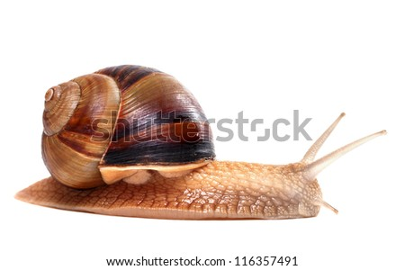 Snail on white background. Close-up view. - stock photo