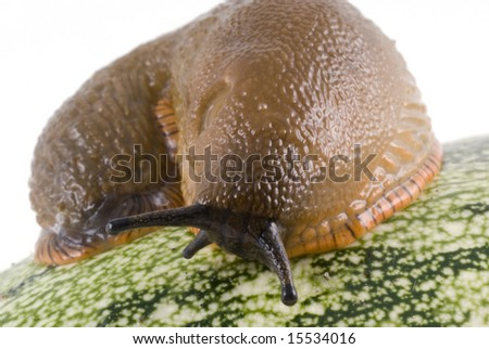 Snail on zucchini isolated on a white background.