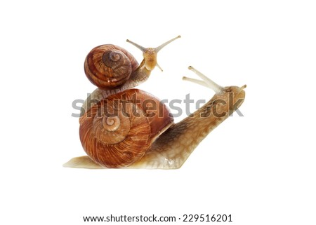 Snail series: snail family - mother and daughter .  The daughter snail is riding the mother snail at the white background .