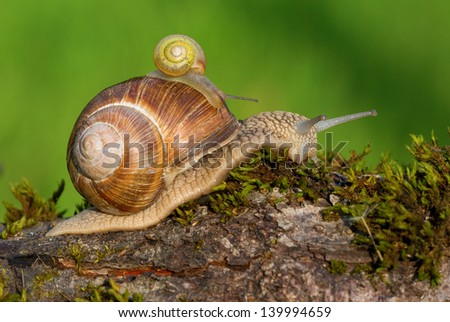 Snail with its baby on its shell - stock photo