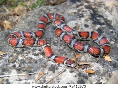 Snake - a dangerous looking coral snake mimic, Lampropeltis triangulum syspila - stock photo