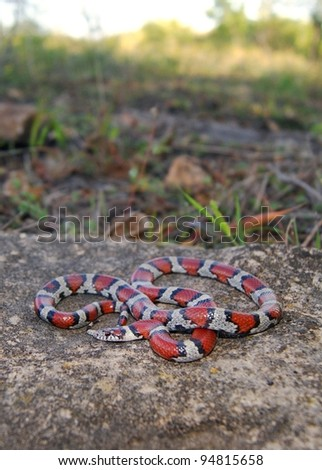 Snake and prairie habitat in midwestern United States, Red Milk Snake, Lampropeltis triangulum syspila - stock photo