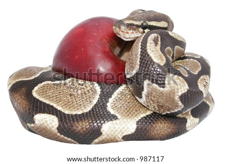 Snake and red apple isolated; temptation concept; includes clipping path - stock photo