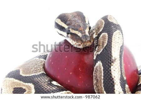Snake and red apple; temptation concept - stock photo