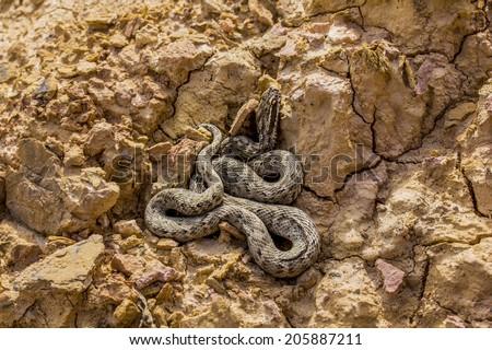 Snake at dry clay close up photo. Vipera renardi - stock photo