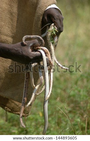 Snake catcher with a handful of young vipers, Tamil Nadu, South India - stock photo