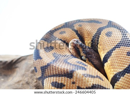 Snake coiled - stock photo