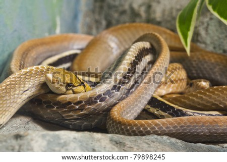 Snake, Copperhead Racer - stock photo