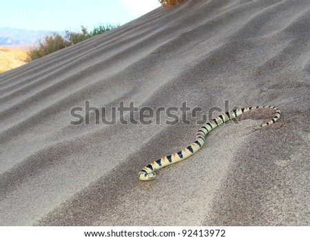 Snake crawling on a sand dune in the desert - Shovelnose Snake, Chionactus occipitalis talpina - stock photo