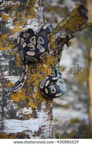 Snake crawling on the birch - stock photo