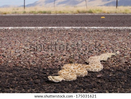 Snake crossing a road - Prairie Rattlesnake, Crotalus viridis thermoregulating in a dangerous place - stock photo