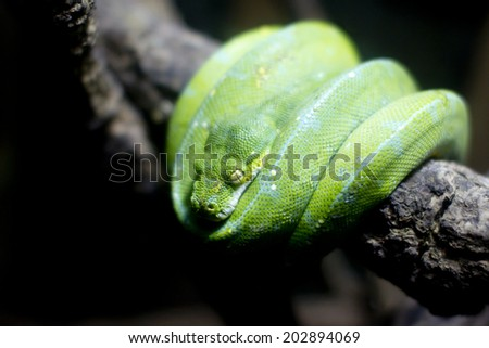 Snake curled up on a branch - stock photo