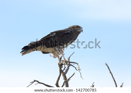 snake eagle birds typical African continent savannah lakes rivers wild birds africa kruger national park south africa - stock photo