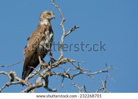 Snake-Eagle ~ Kruger National Park, South Africa - stock photo