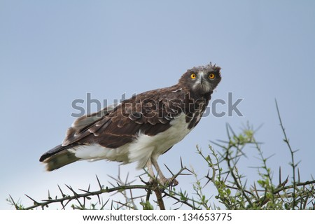 Snake eagle perching on tree branch - stock photo