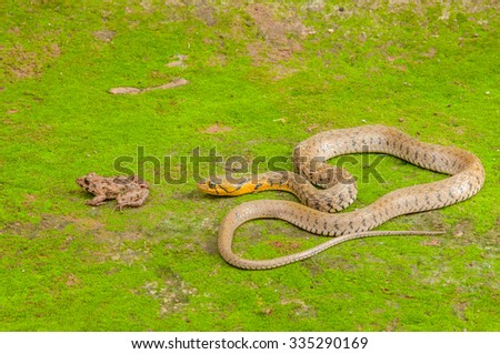 Snake eats frog - stock photo
