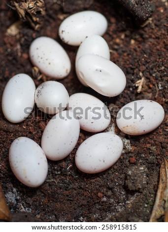 snake eggs on the ground - stock photo