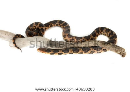 Snake, Fox, Elaphe vulpina, North America, Asia, isolated on white