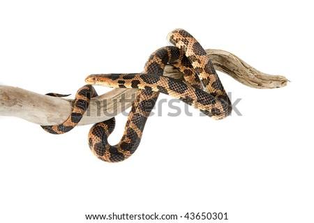 Snake, Fox, Elaphe vulpina, North America, Asia, isolated on white - stock photo
