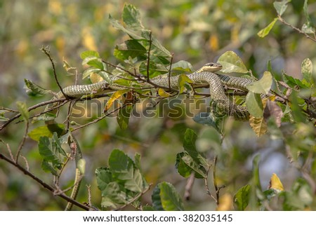 Snake,Green pit viper, Asian pit viper, in nature - stock photo