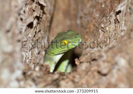 Snake,Green pit viper, Asian pit viper, Trimeresurus (Viperidae)  in nature  - stock photo