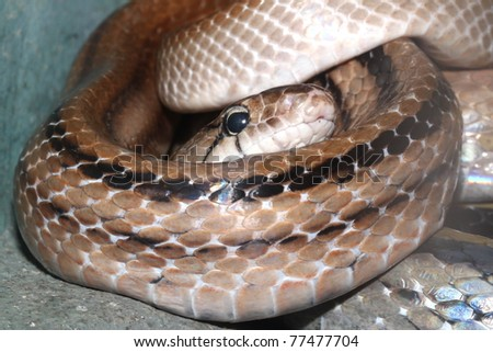Snake head close up picture