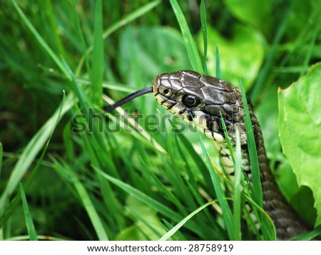 snake hissing in grass - stock photo