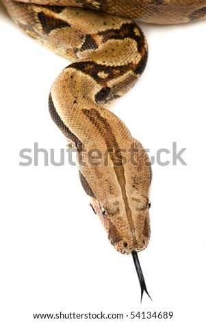 Snake hissing  ,shot of a juvenile boa constrictor with its tongue out, photographed on a white background. - stock photo