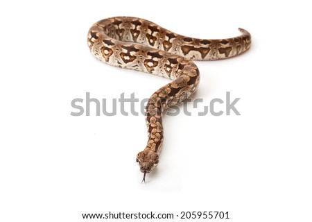 Snake in front of a white background