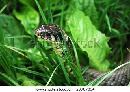 Snake in green grass - stock photo
