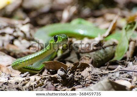 Snake in the Kakamega Forest of Kenya. - stock photo