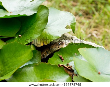 Snake in the water and hide under the leaves of the lotus. - stock photo