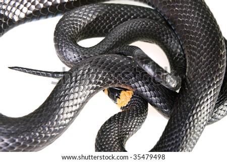 Snake isolated on white background. - stock photo