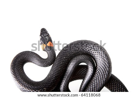 Snake isolated on white background. - stock photo
