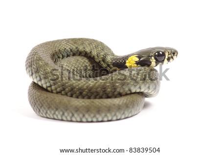 snake isolated on white background - stock photo