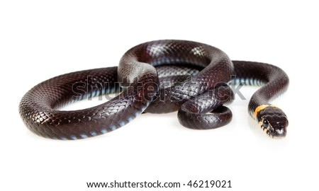 Snake isolated on white background. Grass Snake (Natrix natrix). - stock photo