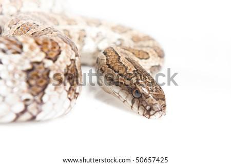 snake isolated over white - stock photo